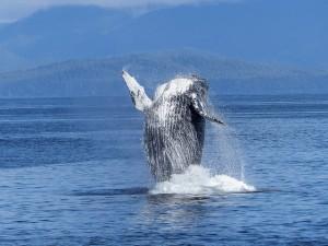 humpback-whale-431902_640