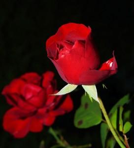 rose-419079_640
